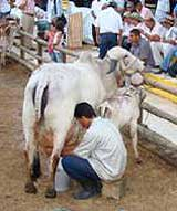 Vaca Gyr lechera Feria Monter�a2008